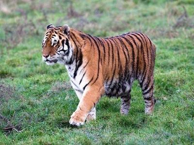 Oáza Sibírskeho Tigra
